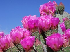 prickly-pear-543925_1280